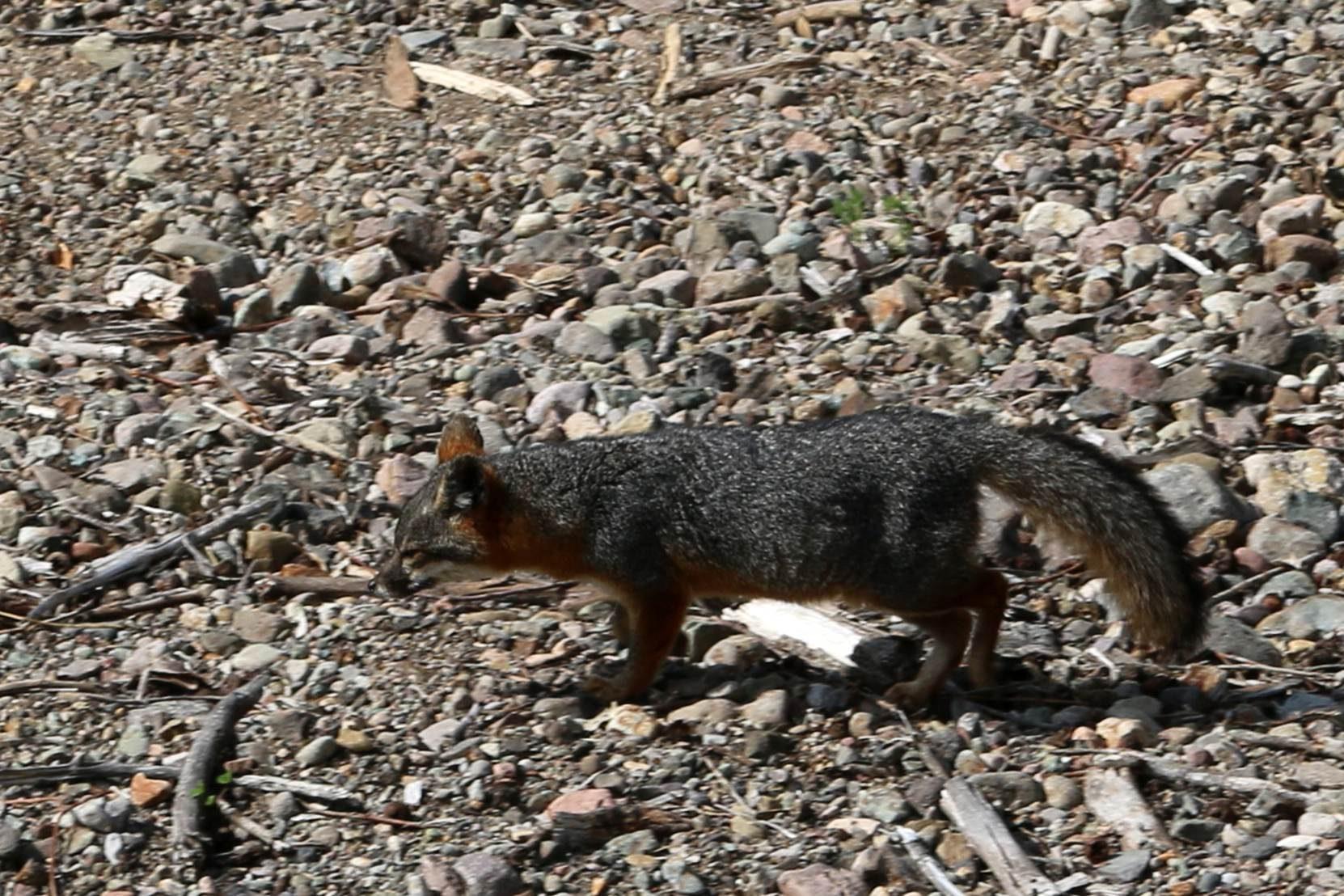 Free photograph; island, fox