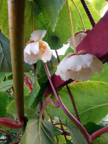 kiwi, plante, creeper, blanc, kiwi, fleurs