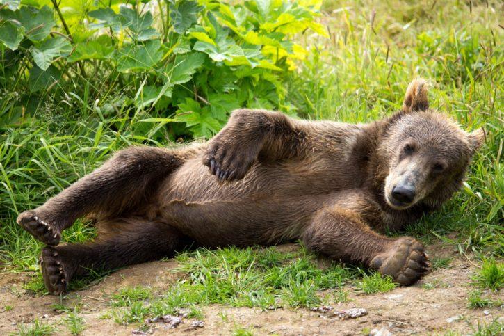 kodiak, brown, bear, cub