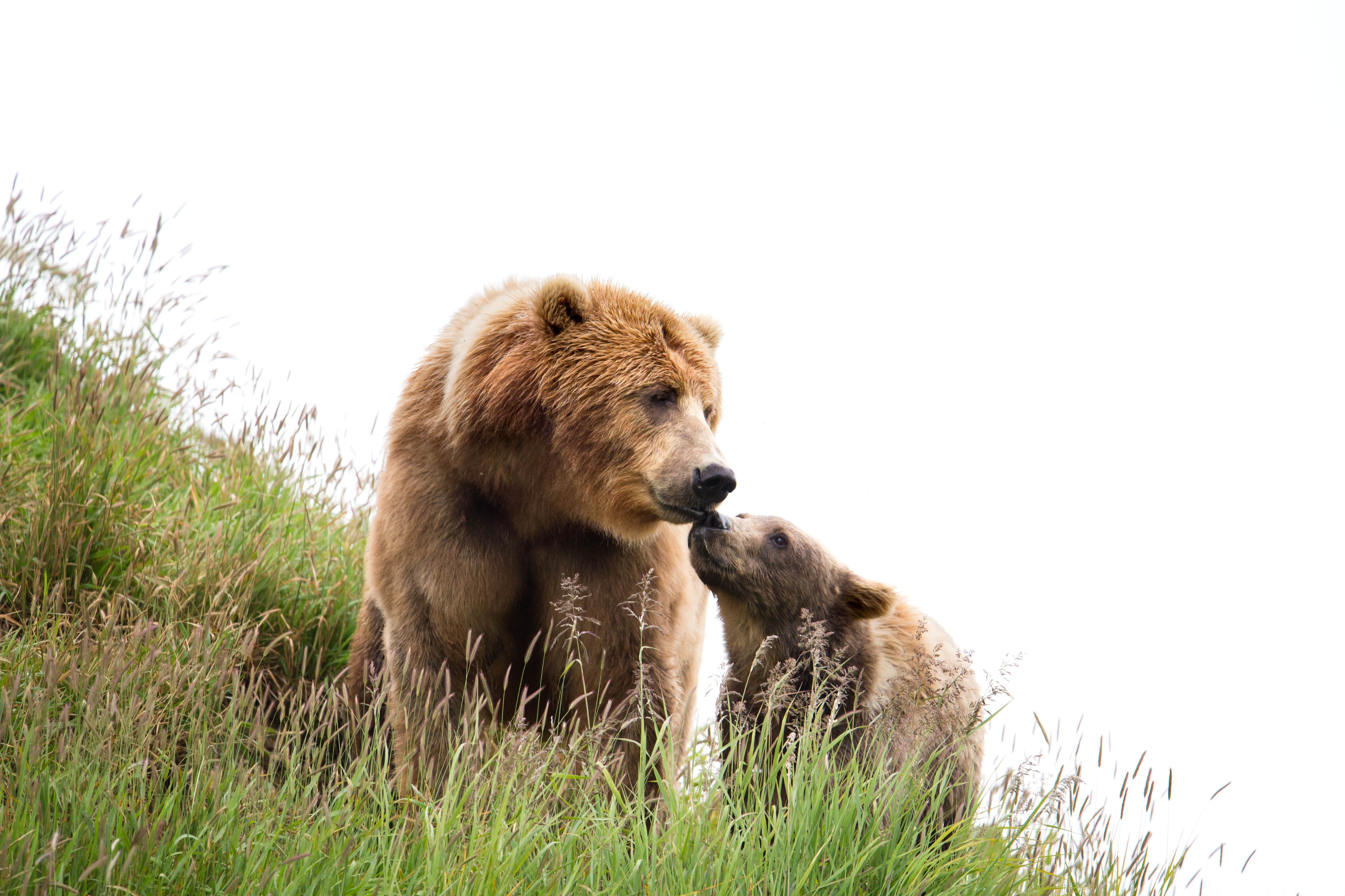 Free photograph; kodiak, brown, bear, sow, cub