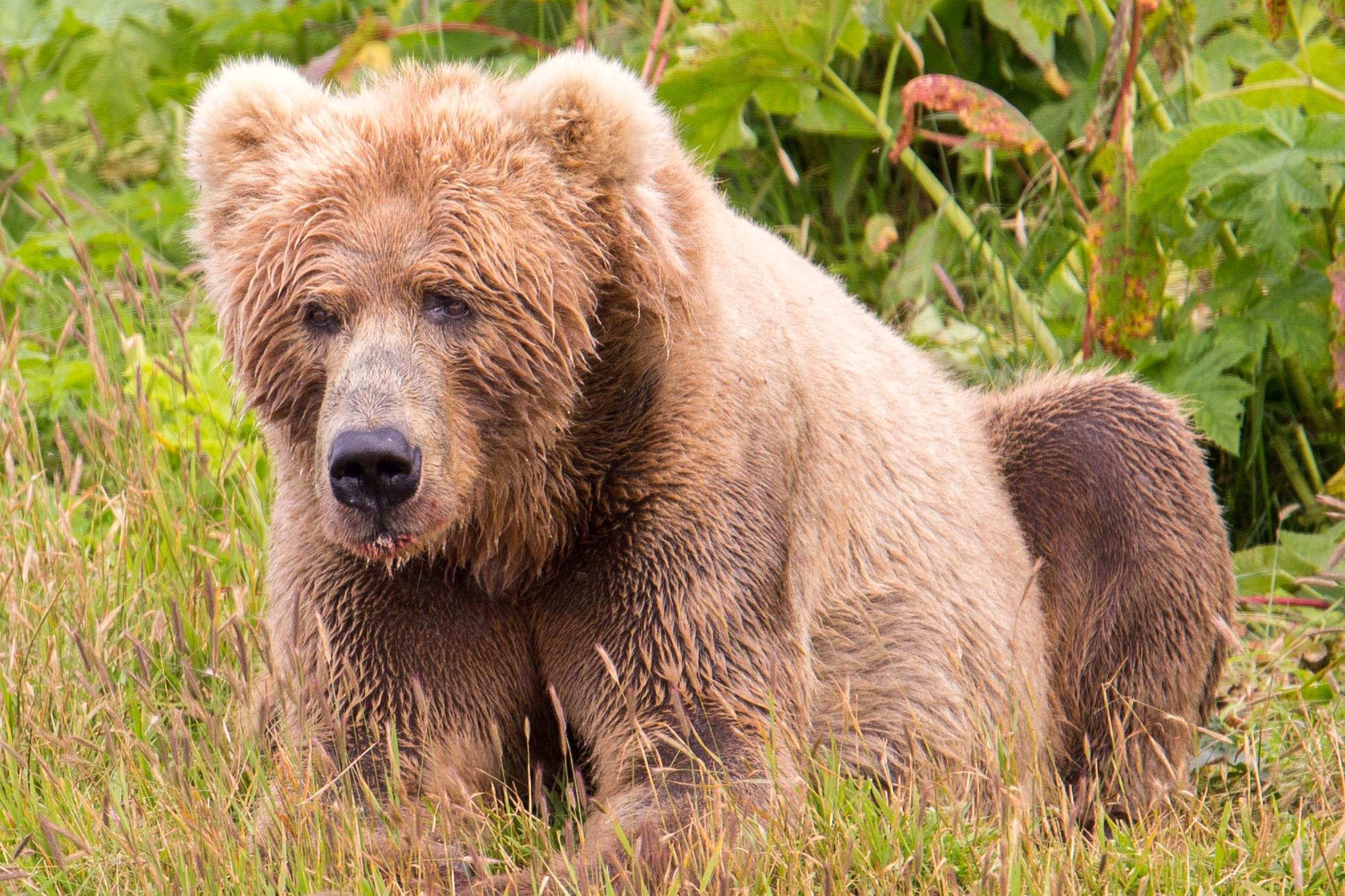 Free photograph; kodiak, brown, bears, distinct, subspecies, mainland, brown, bears