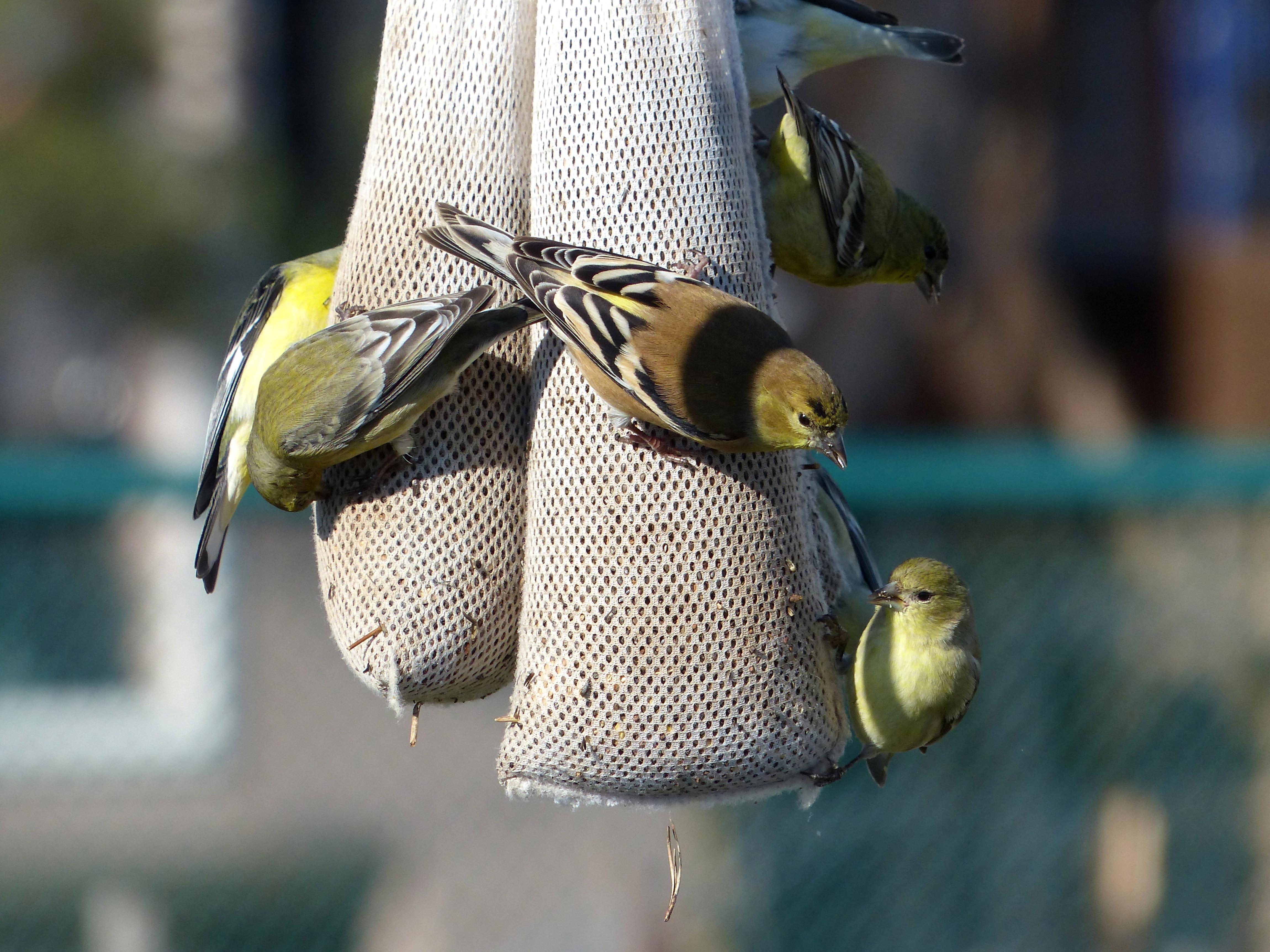 Free photograph; lesser, goldfinch, bird