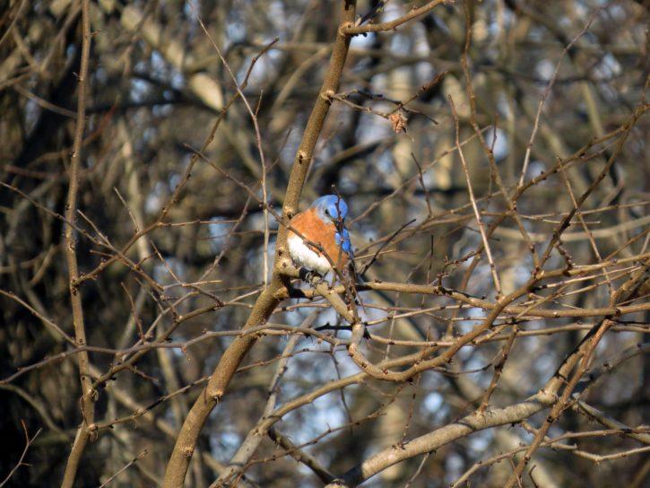 male, Eastern, bluebird, bird
