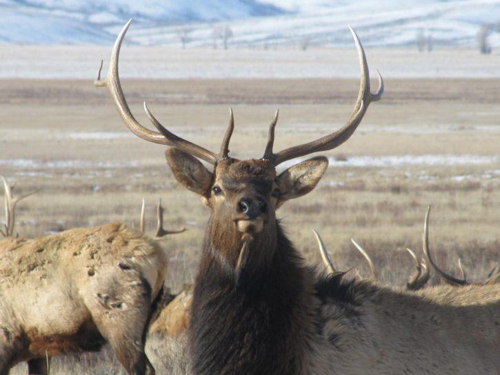 male, elk, stands, raises, head, group, bulls