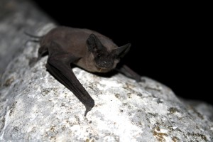 mexican, free, tailed, bat, mammal