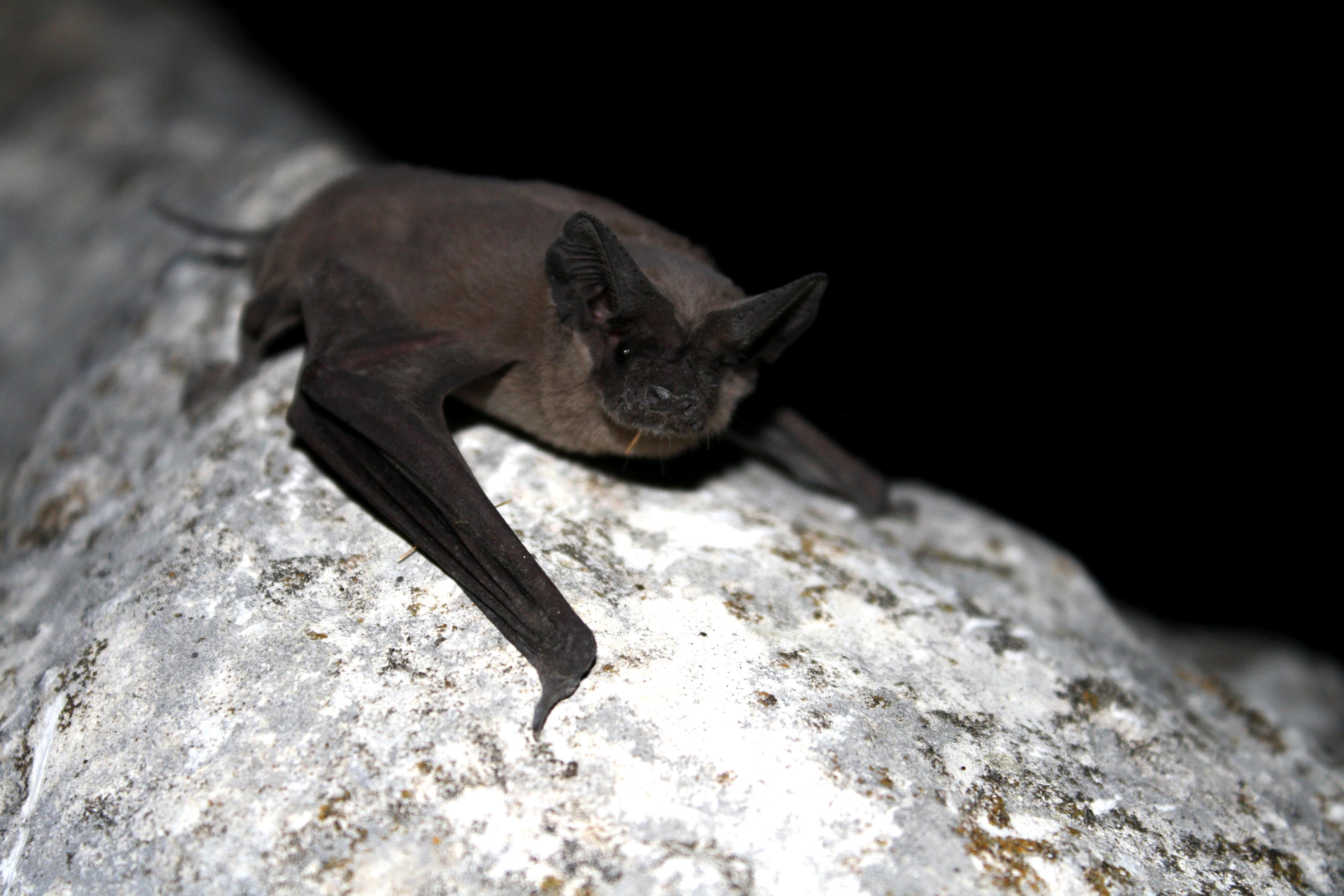 Free photograph; mexican, free, tailed, bat, mammal