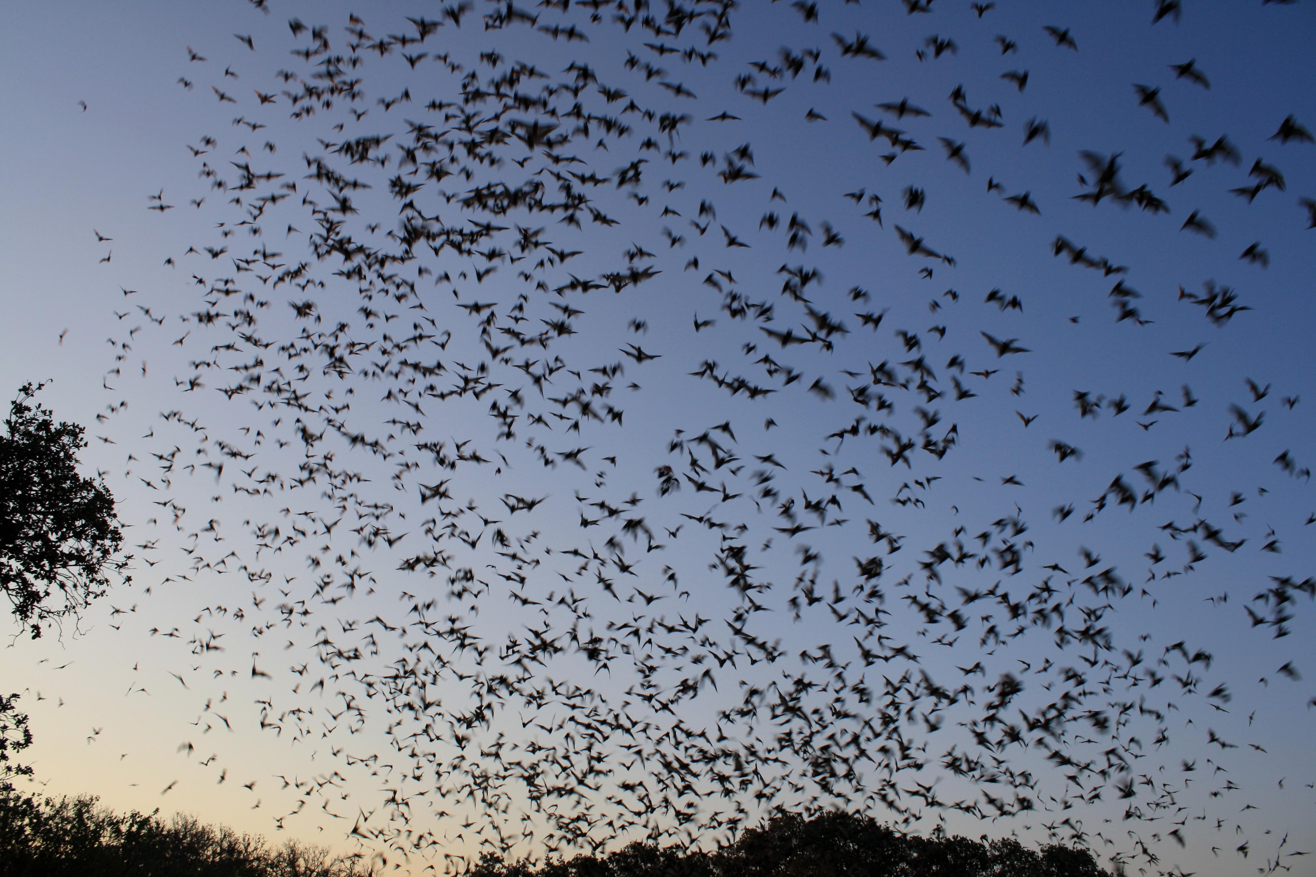 Free photograph; mexican, free, tailed, bats, exiting, bracken, bat, cave
