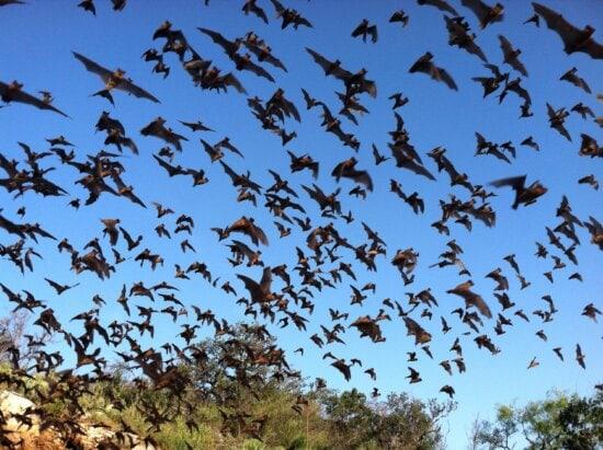 mexicain, libre, à queue, les chauves-souris, voler, ciel