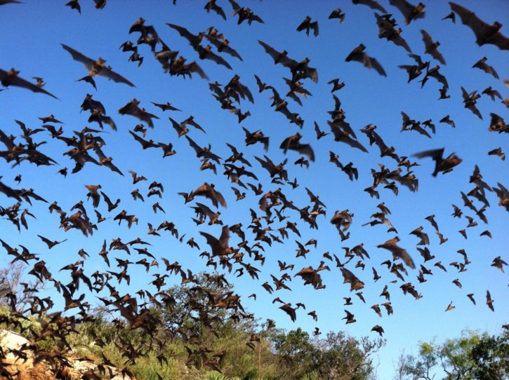 mexican, free, tailed, bats, flying, sky