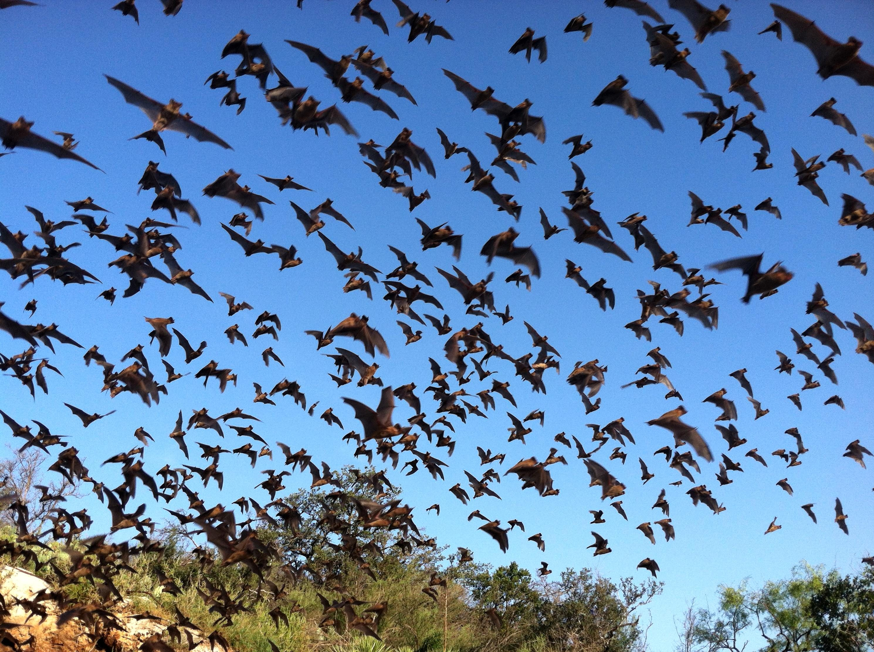Free photograph; mexican, free, tailed, bats, flying, sky