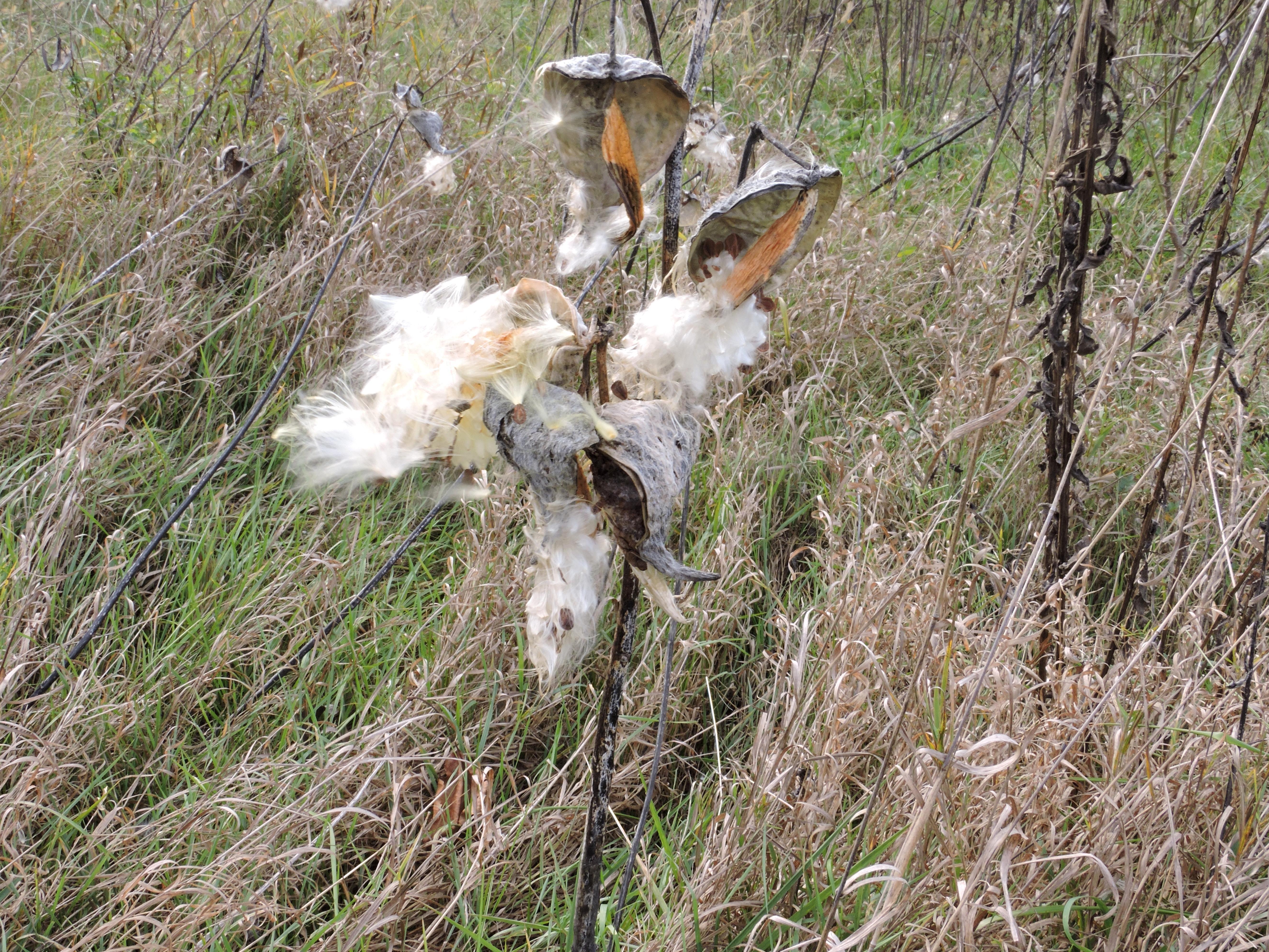 Free photograph; milkweed, open, pods