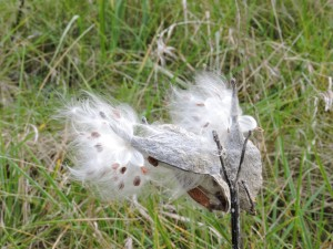 milkweed, open, display, seeds