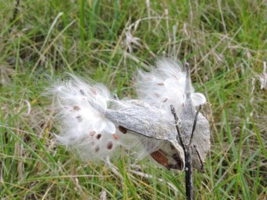milkweed, open, display, seeds