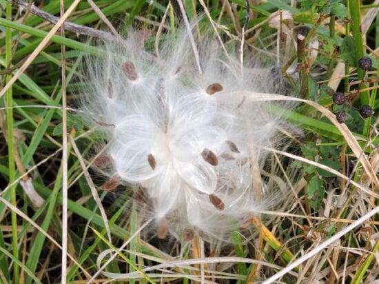 milkweed plant, seeds, blowing wind