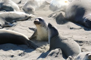 northern elephant seal, colony, beach, marine mammals