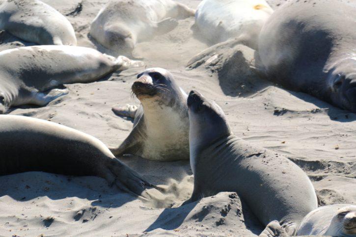 Северният морски слон, колония, плаж, морски бозайници