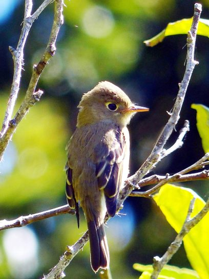 pacific, slope, flycatcher, bird, perched, branch