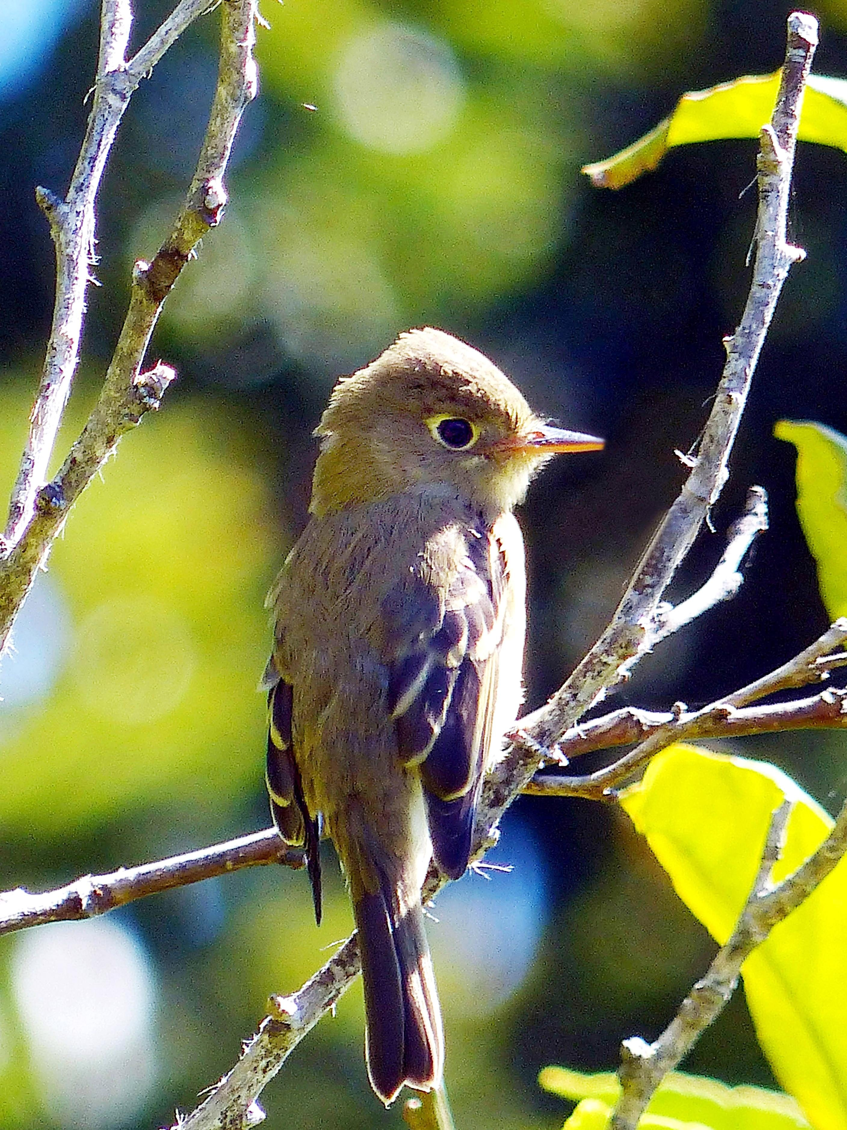 Free photograph; pacific, slope, flycatcher, bird, perched, branch