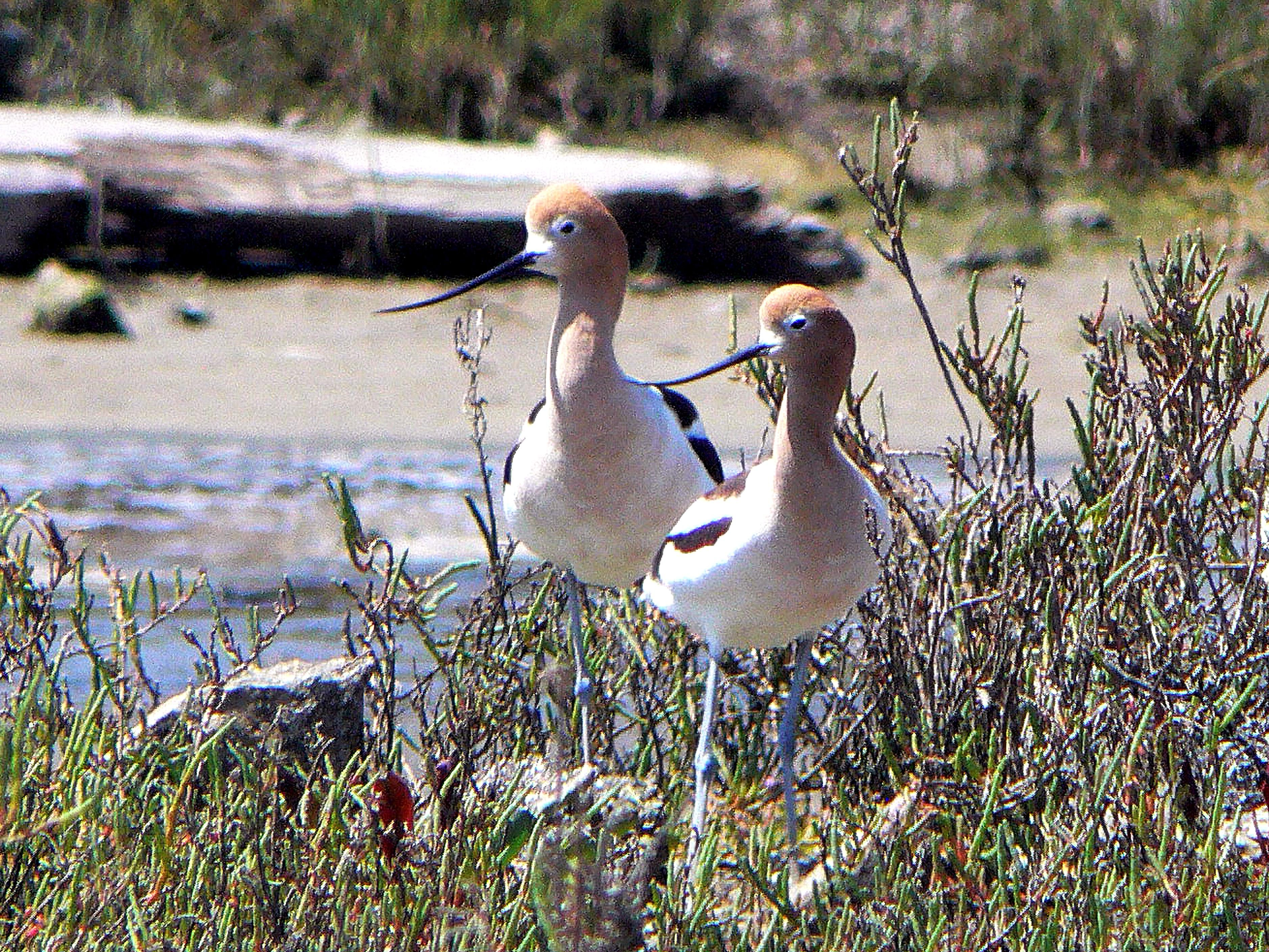 Free photograph; pair, American, avocet, shore, birds