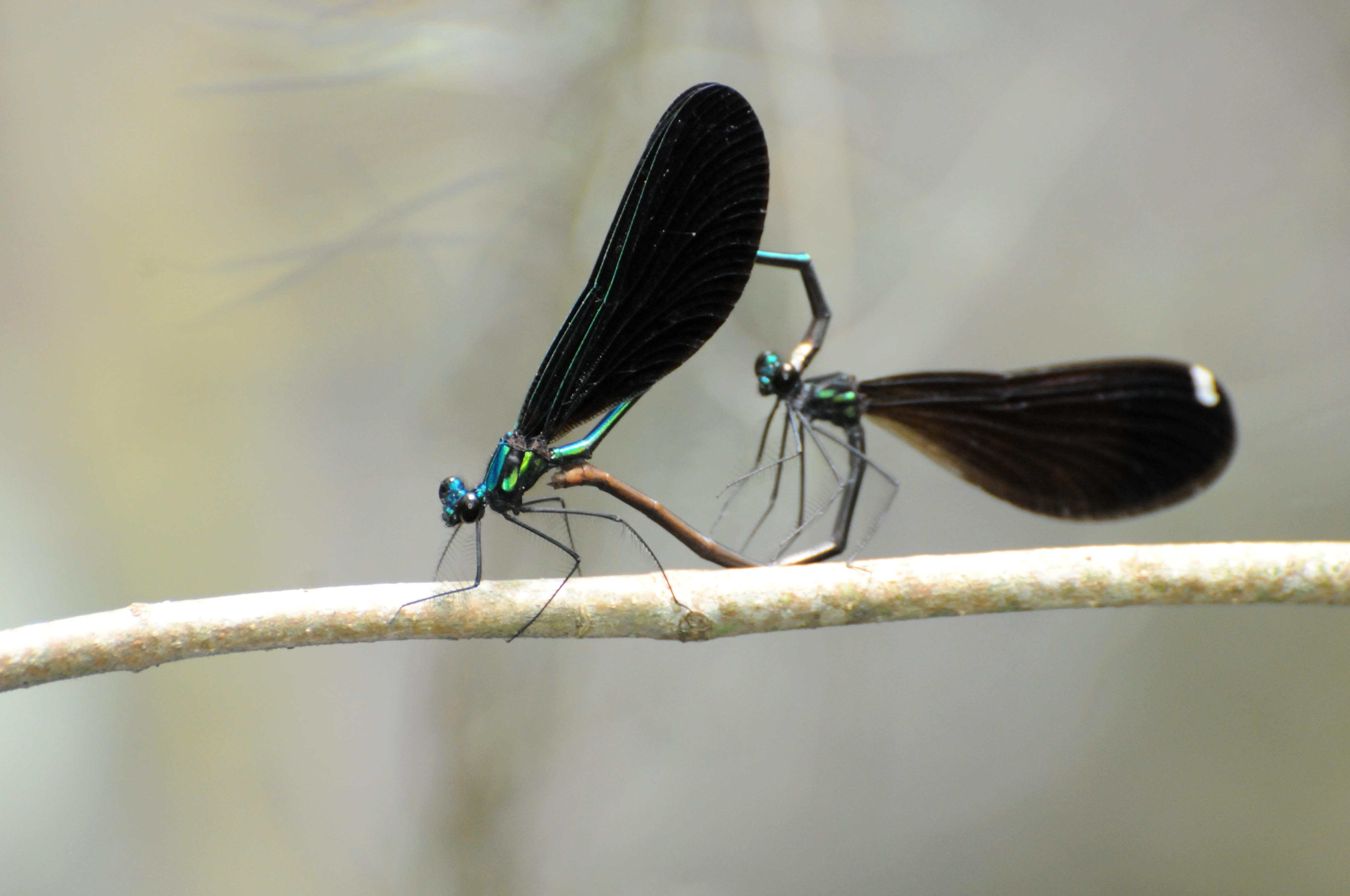 Free photograph; pair, Ebony, jewelwings, branch