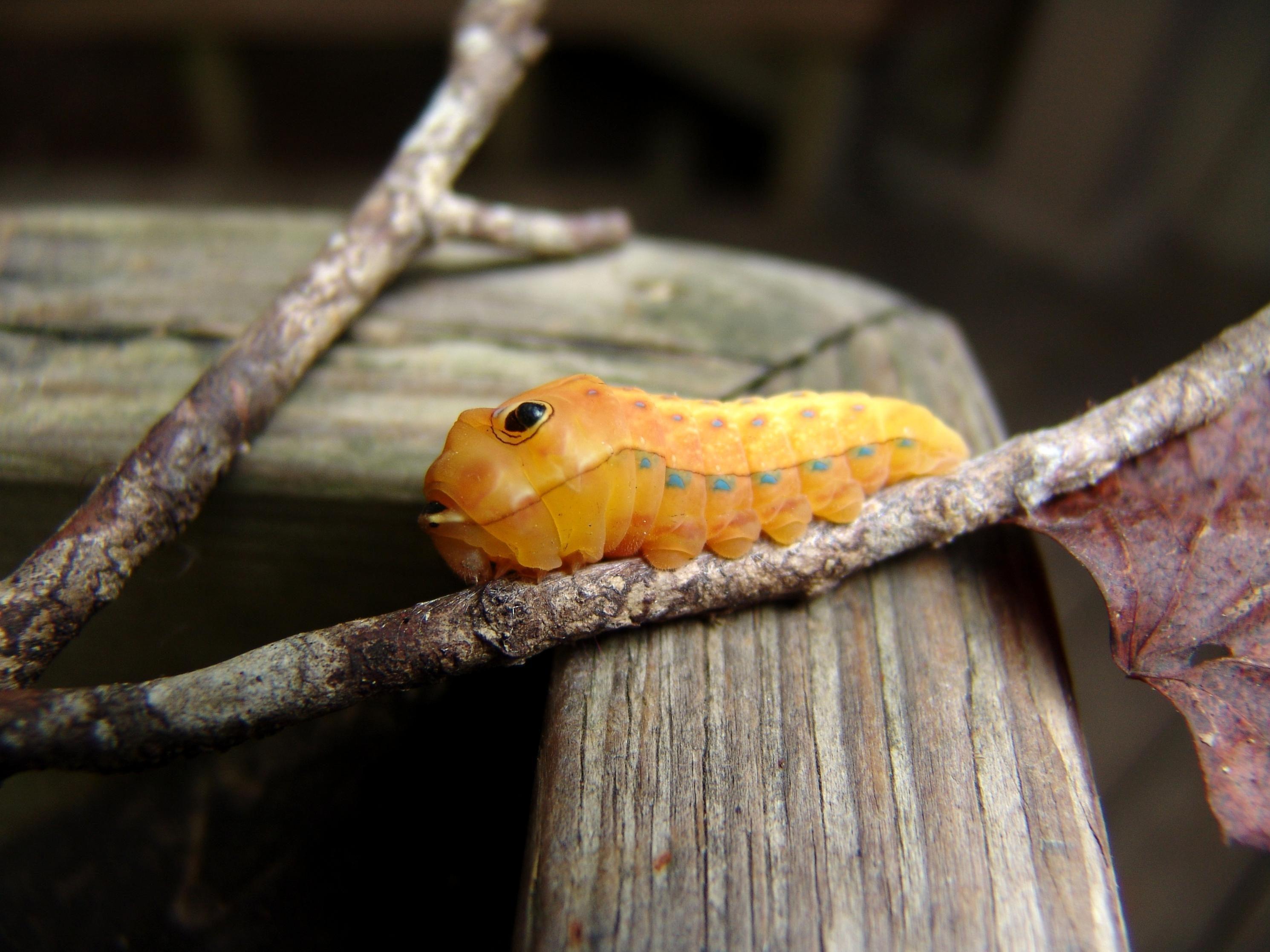 Free photograph; palamedes, caterpillar, branch