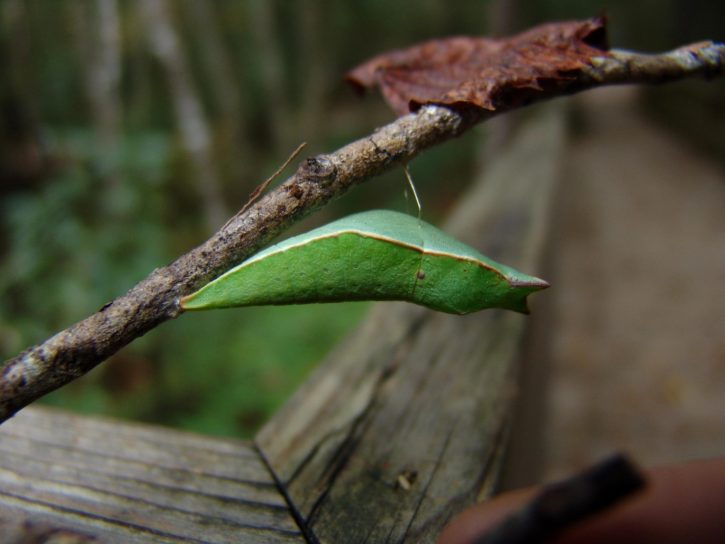 leaf, insect, moth, Palamedes, swallowtail, incognito