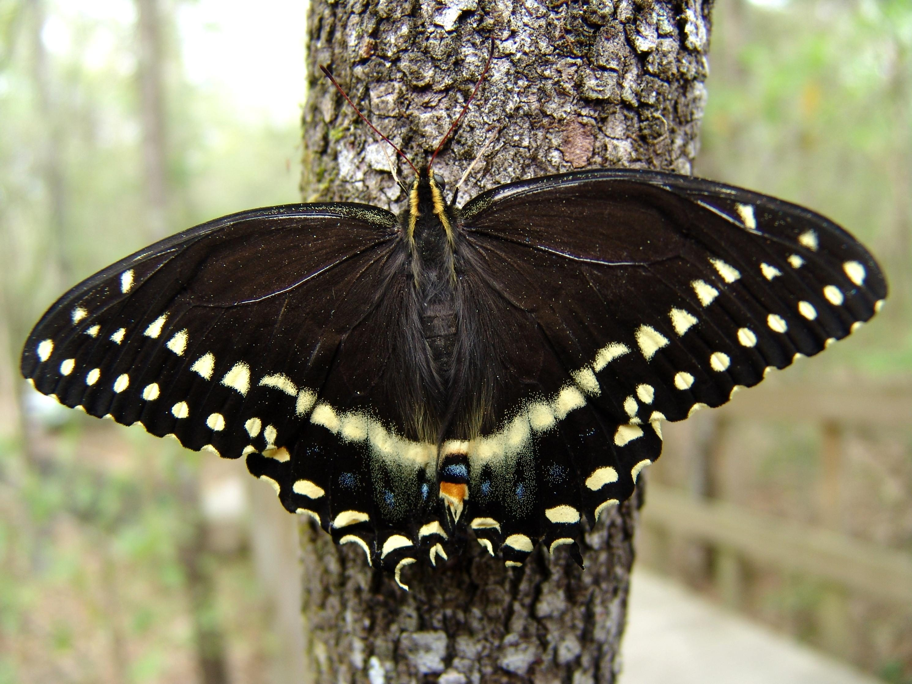 Free photograph; palamedes, swallowtail, butterfly, displaying, wings