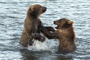 playful, wrestling, between, two, brown bears