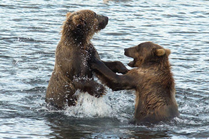 playful, wrestling, between, two, brown, bears