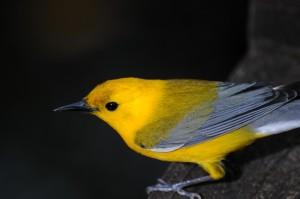 prothonotary warbler, bird, animal, night