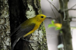 prothonotary, warbler, bird