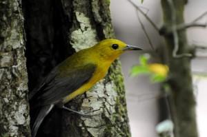 Prothonotary, Løvsanger, fugl