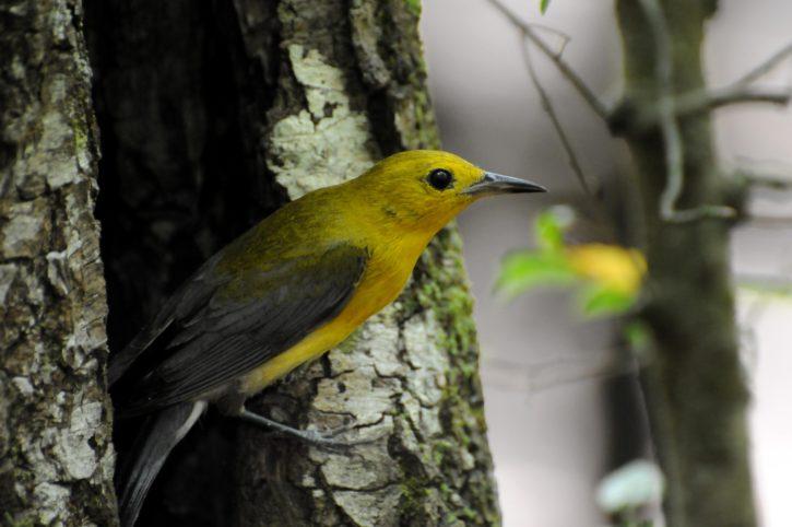 prothonotary, warbler, bird
