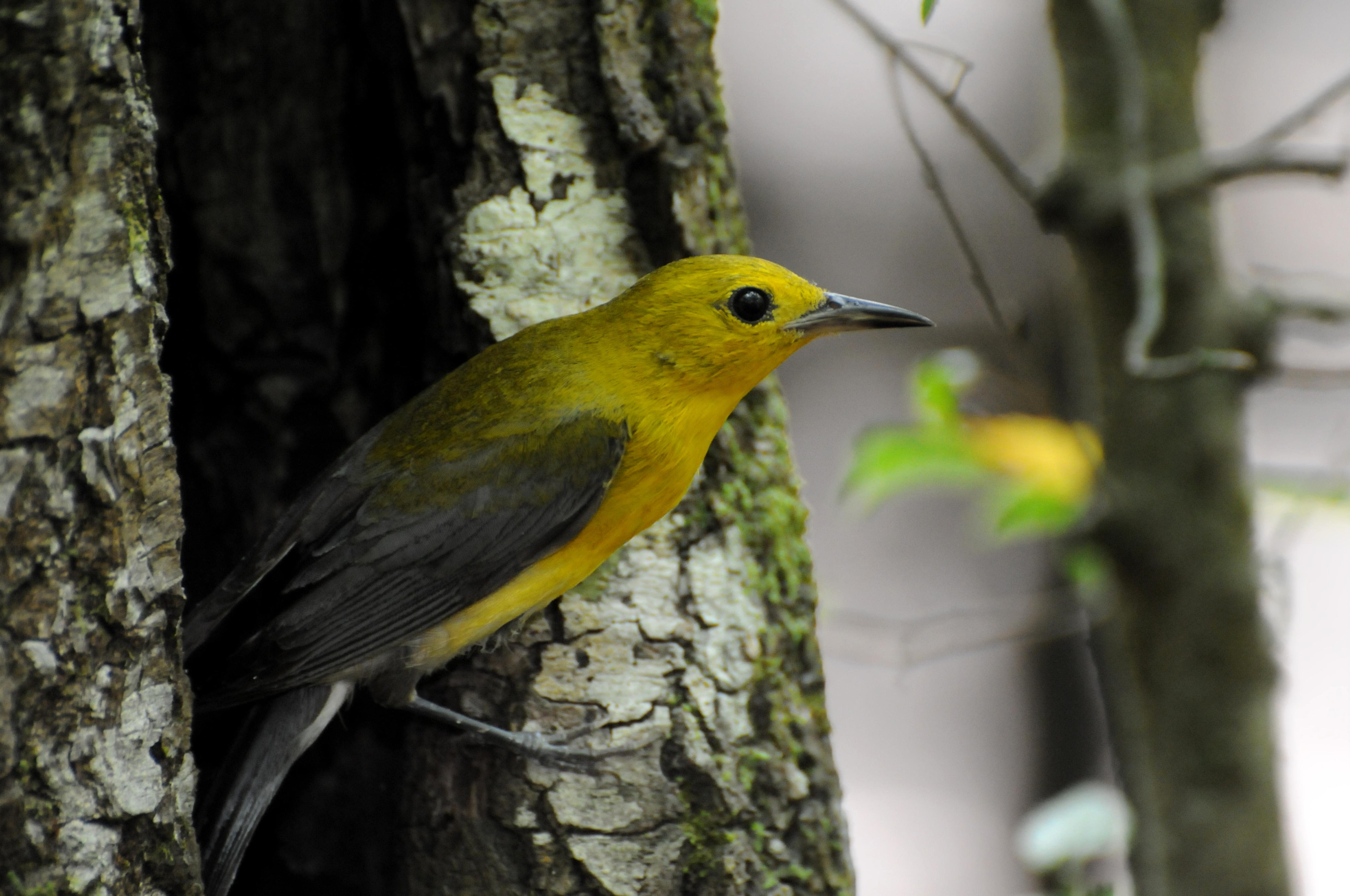 Free photograph; prothonotary, warbler, bird