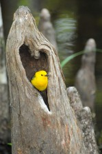 prothonotary, warbler, bird, heart, shaped, hole