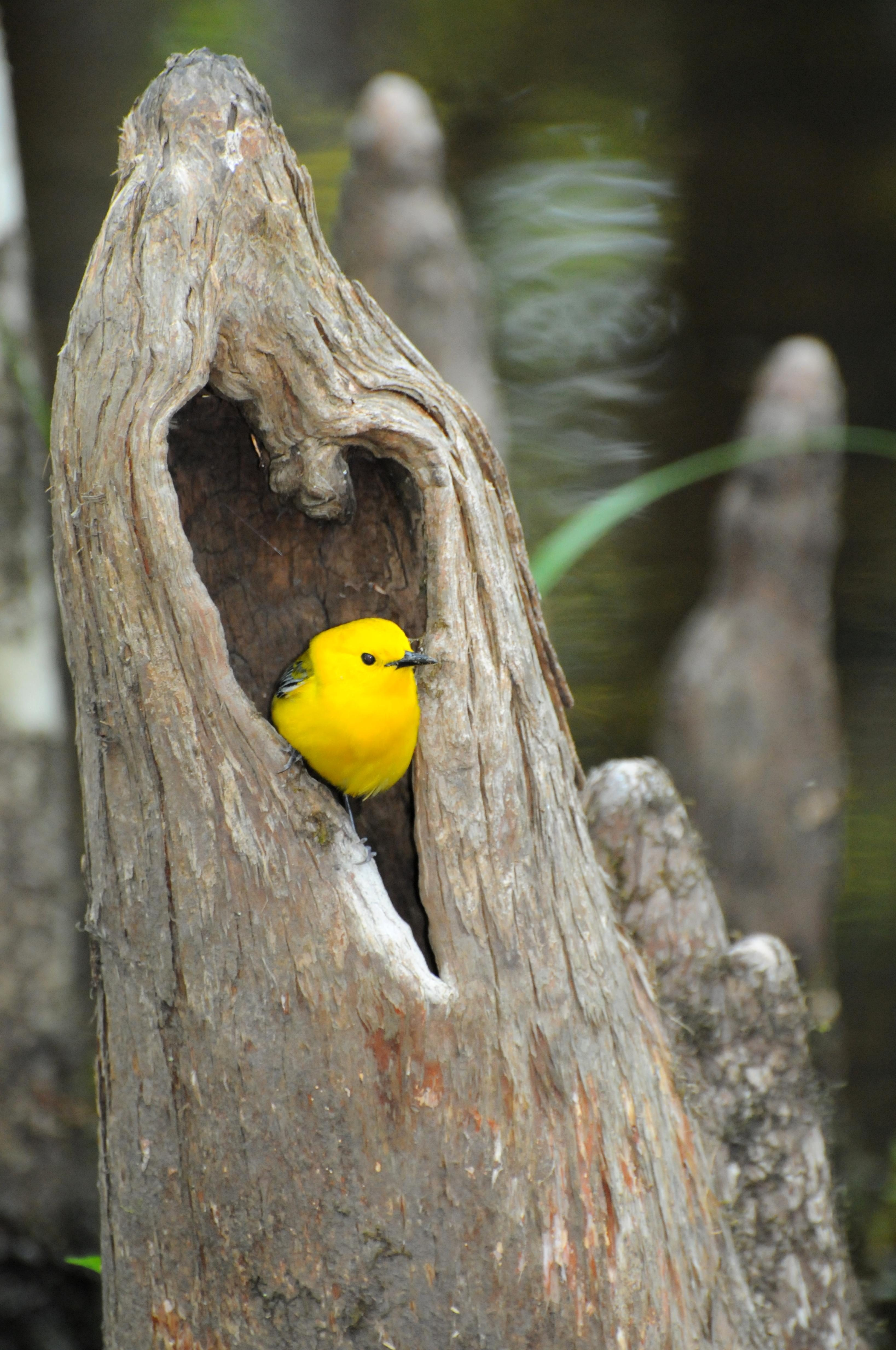 Free photograph; prothonotary, warbler, bird, heart, shaped, hole