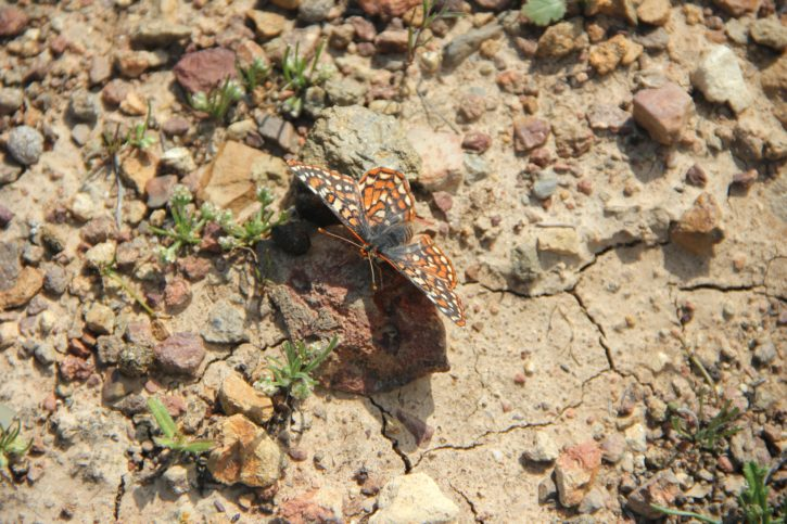 quino, Checkerspot, butterfly, insect, desert