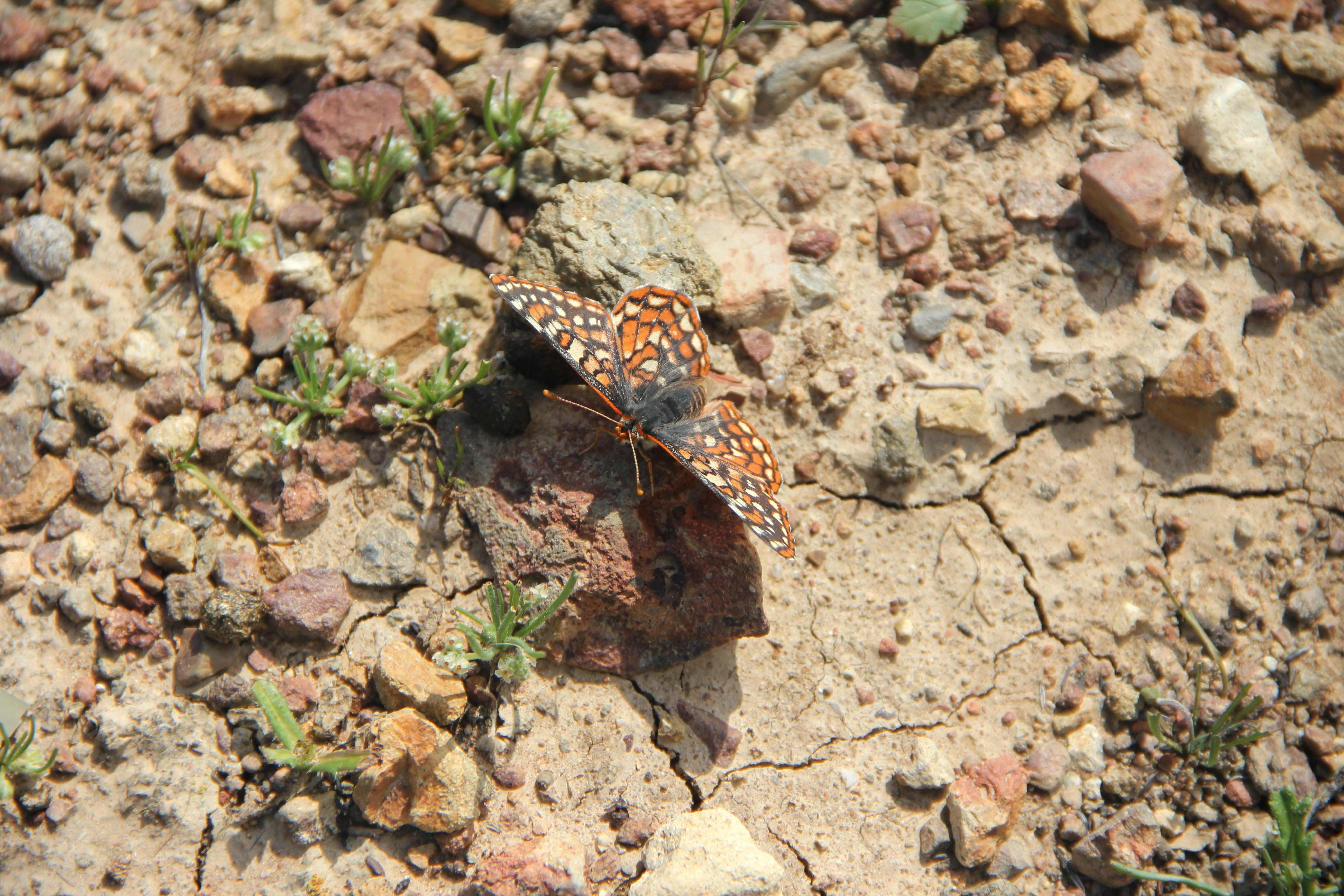 Free photograph; quino, Checkerspot, butterfly, insect, desert
