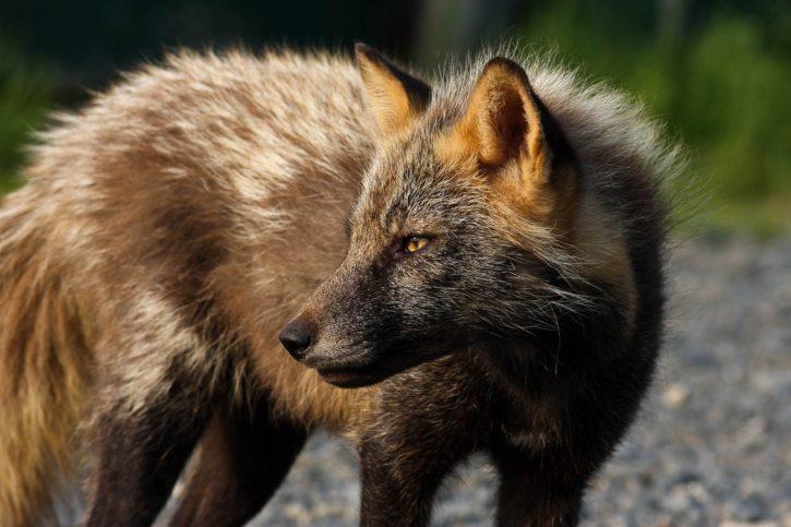 red fox, face, wild, animal