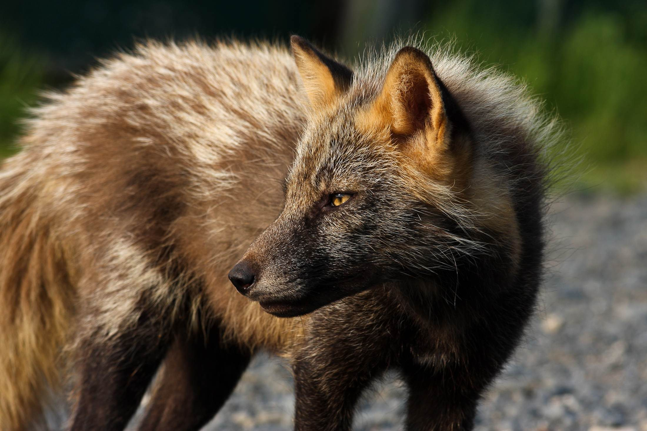 Free photograph; red, fox, face, wild, animal