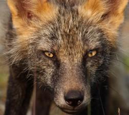 le renard roux, les yeux, la tête, portrait