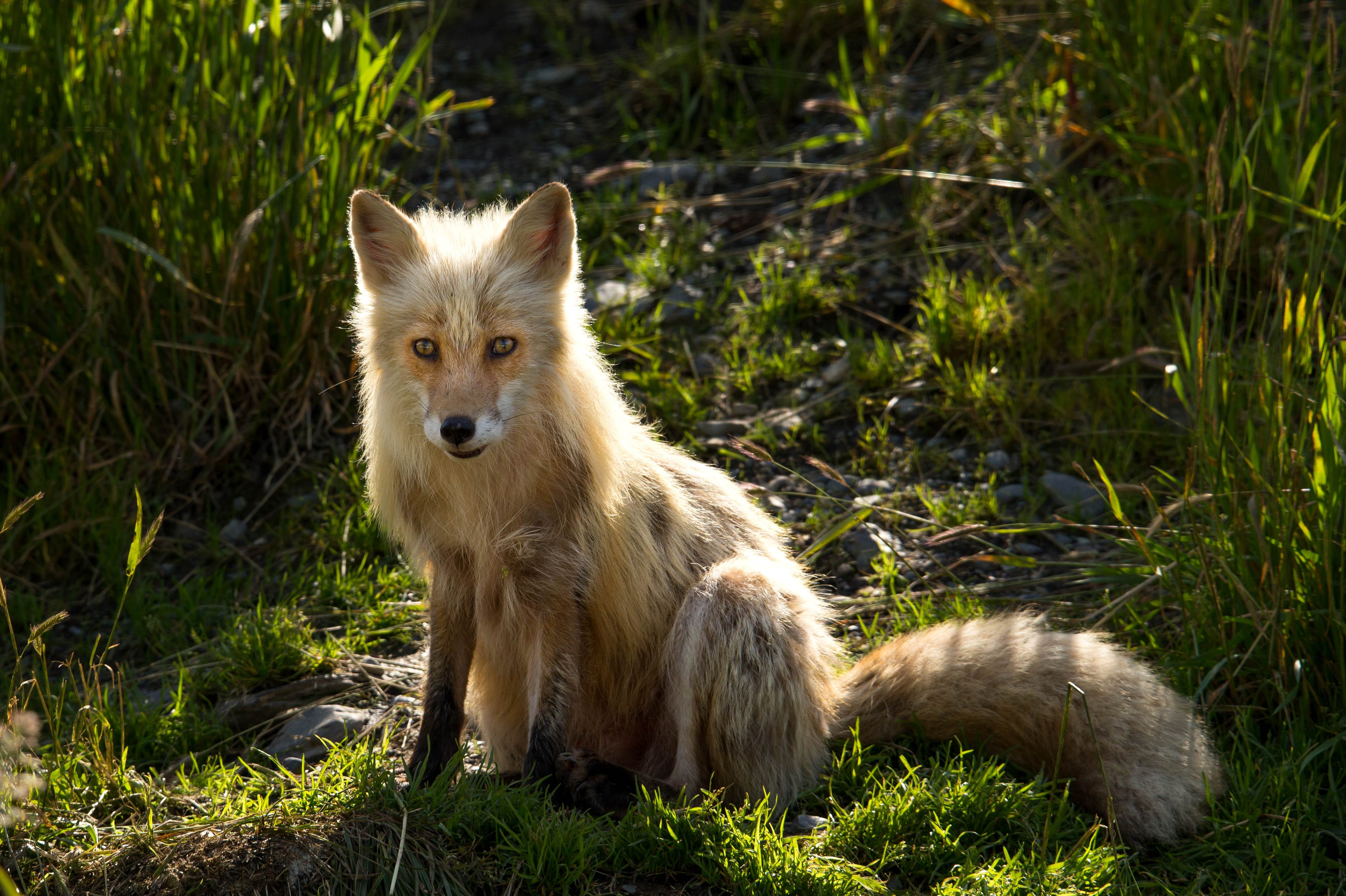 Free photograph; red, fox, sitting, grass, wild, animal