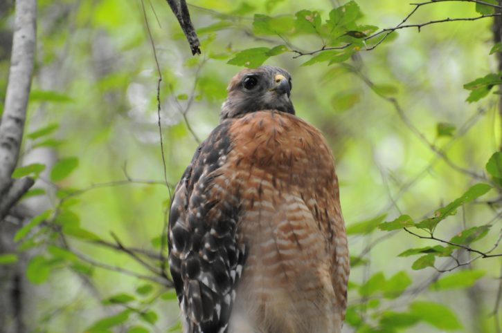 red, shouldered, Hawk, wing, spread
