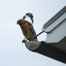 red, shouldered, hawk, northern mocking, bird