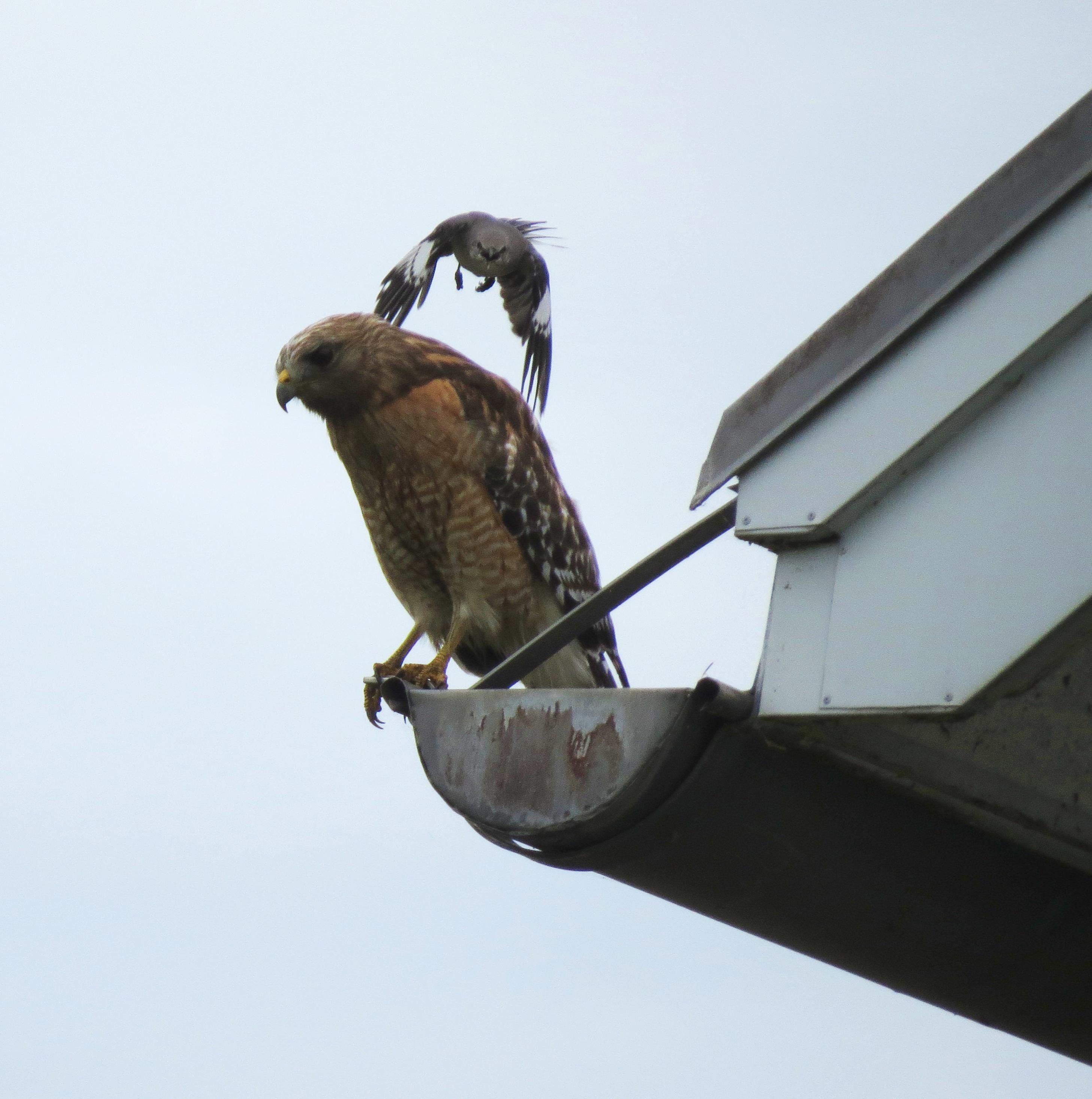 Free photograph; red, shouldered, hawk, northern, mocking, bird