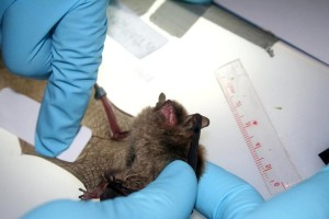 researcher, collects, sebum, sample, bat, wing