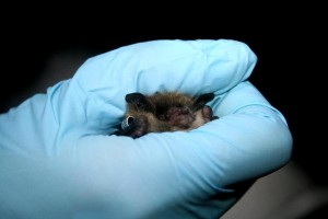 researcher, holds, Little, brown, bat