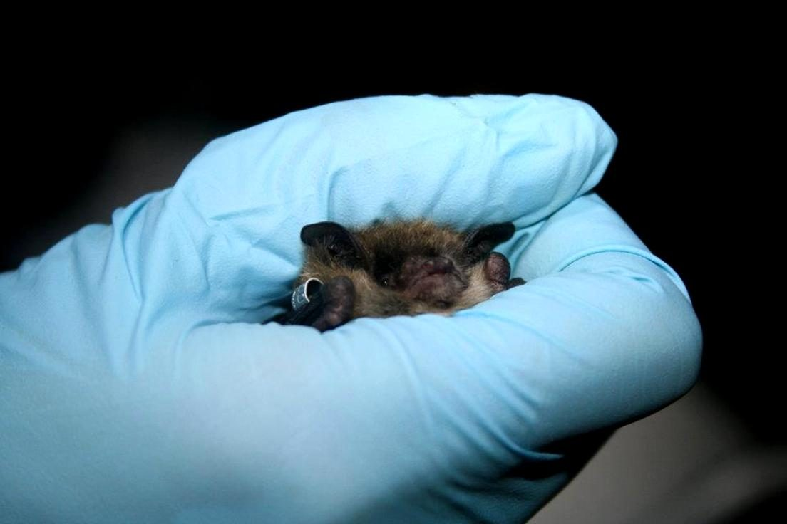 Free photograph; researcher, holds, Little, brown, bat