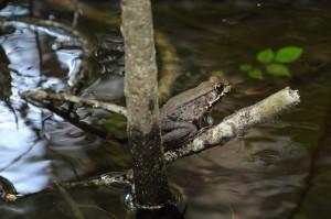 river, frog, amphibian, branch