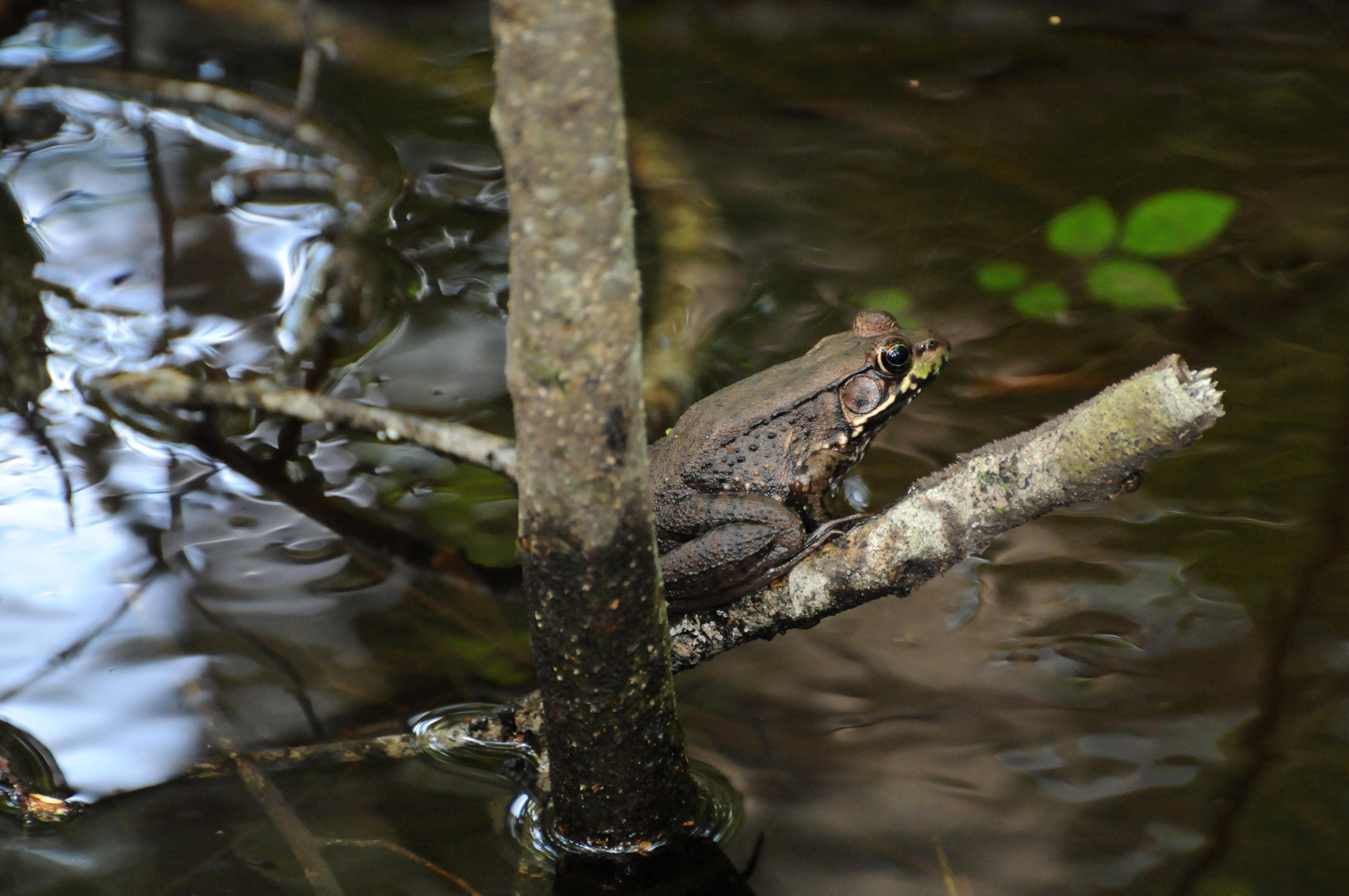 Free photograph; river, frog, amphibian, perched, branch